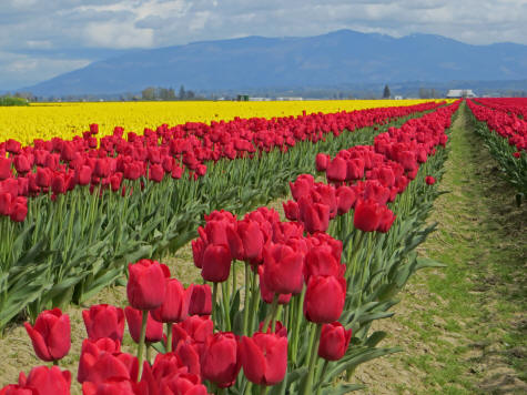 Tulip Growing in La Conner, State of Washington